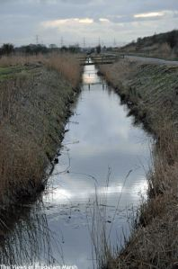 16.02.15. Ditch along Moorditch Lane, Frodsham Marsh. Bill Morton
