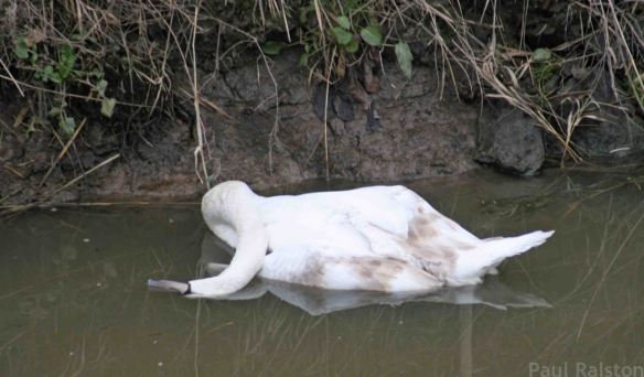 11.02.15. Mute Swan (deceased), Holpool Gutter, Frodsham Marsh. Paul Ralston