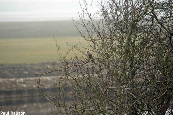 11.02.15. Merlin, Manchester Ship Canal, Frodsham Marsh. Paul Ralston