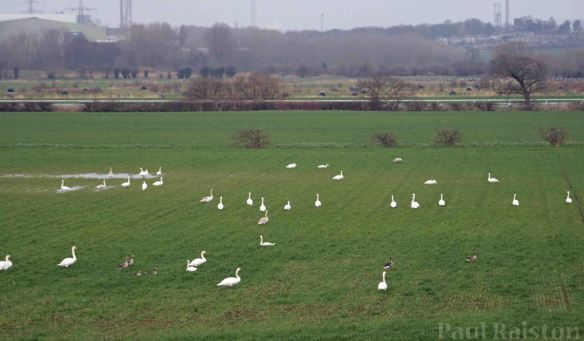 15.03.15. Whooper and Mute Swans, Ince Marsh fields. Paul Ralston (3)