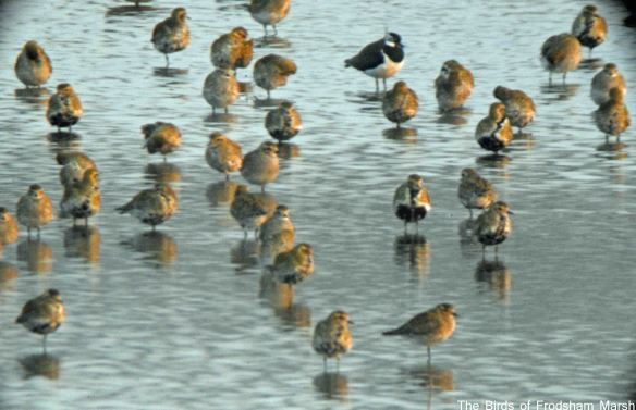19.03.15. Golden Plovers, No.6 tank, Frodsham Marsh. Bill Morton (3)