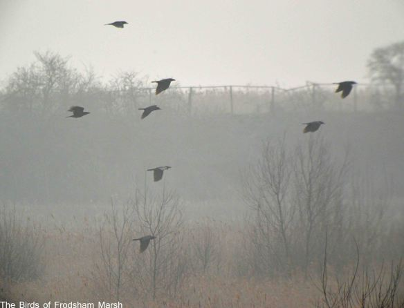 19.03.15. Ravens, No.6 tank, Frodsham Marsh. Bill Morton (3)