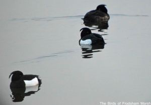 19.03.15. Tufted Ducks, No.6 tank, Frodsham Marsh. Bill Morton