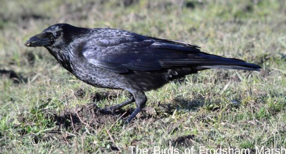 24.03.15. Carrion crow, Moorditch Lane, Frodsham Marsh. Bill Morton