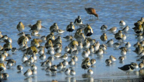 24.03.15. Golden Plovers, No.6 tank, Frodsham Marsh. Bill Morton (1)