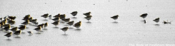 24.03.15. Golden Plovers, No.6 tank, Frodsham Marsh. Bill Morton (2)