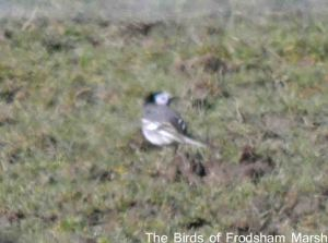 24.03.15. White Wagtail, Moorditch Lane, Frodsham Marsh. Bill Morton
