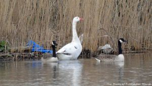 27.03.15. White Goose and Canada Geese, Weaver Bend, Frodsham Marsh. Bill Morton