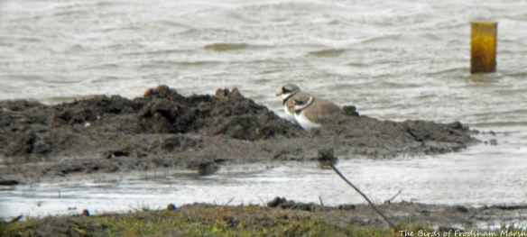 28.03.15. Ringed Plovers, No.3 tank, Frodsham Marsh. Bill Morton