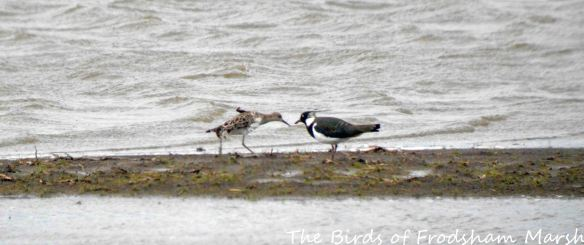 28.03.15. Ruff and Lapwing, No.3 tank, Frodsham Marsh. Bill Morton (1)