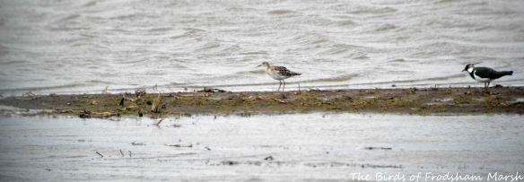 28.03.15. Ruff and Lapwing, No.3 tank, Frodsham Marsh. Bill Morton (2)