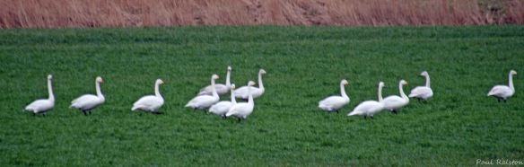 28.03.15. Whooper Swans, Ince Marsh fields, Paul Ralston (1)