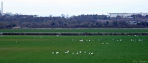 28.03.15. Whooper Swans, Ince Marsh fields, Paul Ralston (2)