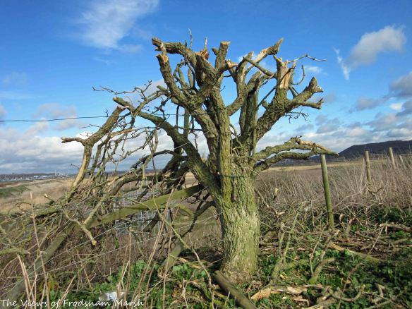 29.03.15. Butchered tree on No.4 tabk, Frodsham Marsh. Bill Morton