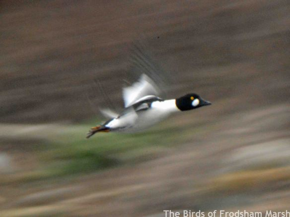 14.03.15. Goldeneye drake, Weaver estuary, Frodsham Marsh. Bill Morton