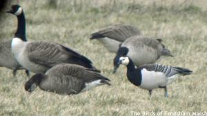14.03.15. Barnacle Goose and hybrid partner, No.1 tank, Frodsham Marsh. Bill Morton