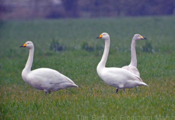 20.03.15. Whooper Swan, Ince Marsh fields, Bill Morton