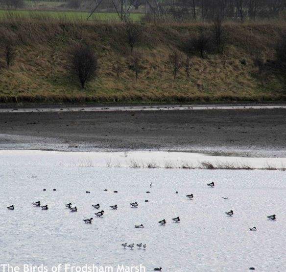 08.03.15. Avocets on No.6 tank, Frodsham Marsh. Bill Morton