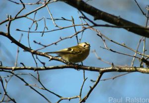 20.03.15. Goldcrest, Ince. Paul Ralston