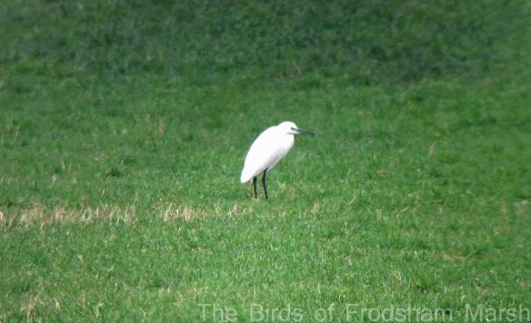 20.03.15. Little Egret by Spring Farm, Frodsham Marsh, Bill Morton