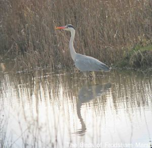 22.03.15. Grey Heron, the Lum, Frodsham Marsh. Bill Morton