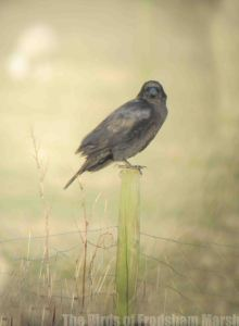 25.03.15. Raven, No.5 tank, Frodsham Marsh. Bill Morton