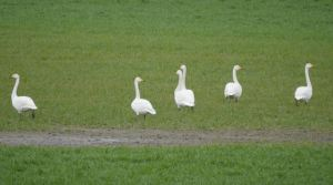 23.03.15. Whooper Swans, Ince Marsh fields, Greg Baker