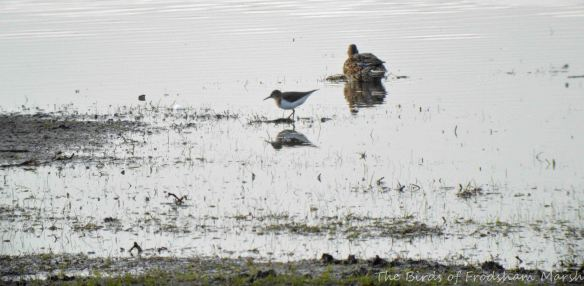 16.04.15. Common Sandpiper and Teal, No.3 tank, Frodsham Marsh. Bill Morton