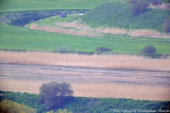 16.04.15. Extreme South-west corner of No.4 tank, Frodsham Marsh, remaining reed bed. Bill Morton (3)