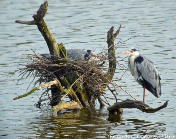 16.04.15. Grey Herons on nest, No.6 tank, Frodsham Marsh. Bill Morton (2)
