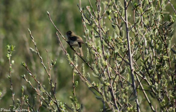 18.04.15. Frodsham Marsh. Paul Ralston (2)
