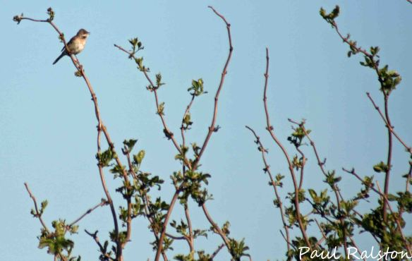 18.04.15. Whitethroat, Frodsham Marsh. Paul Ralston (3)