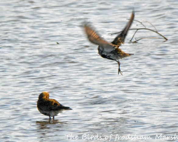18.04.15. Golden Plovers, No.6 tank, Frodsham Marsh. Bill Morton (1)
