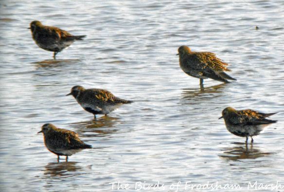 18.04.15. Golden Plovers, No.6 tank, Frodsham Marsh. Bill Morton (2)