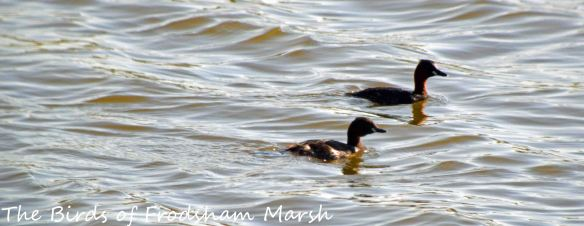 18.04.15. Little Grebes, No.6 tank, frodsham Marsh. Bill Morton