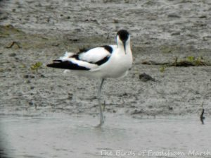 25.04.15. Avocet, No.3 tank, Frodsham Marsh. Bill Morton