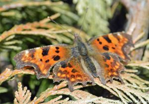 25.04.15. Comma Butterfly, Moorditch Lane, Frodsham Marsh. Bill Morton