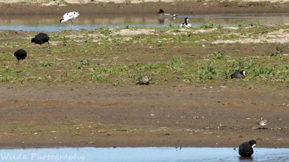26.04.15. Avocet and Ringed Plover, Frodsham Marsh. Heather and Findlay Wilde (2)