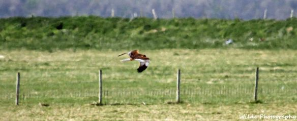 26.04.15. Marsh Harrier, No.3 tank, Frodsham Marsh. Heather and Findlay Wilde (2)