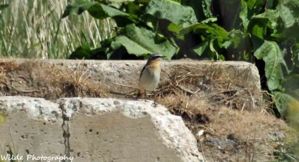 26.04.15. Wheatear, Lordship Lane, Frodsham Marsh. Heather and Findlay Wilde (2)