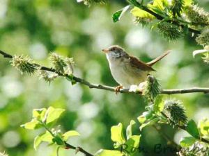 29.04.15. Whitethroat, No.6 tank, Frodsham Marsh