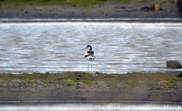 30.04.15. Avocet, No.3 tank, Frodsham Marsh. Bill Morton (1)