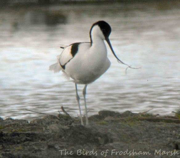 30.04.15. Avocet, No.3 tank, Frodsham Marsh. Bill Morton (2)
