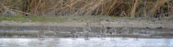 30.04.15. Black-tailed Godwits, No.3 tank, Frodsham Marsh. Bill Morton