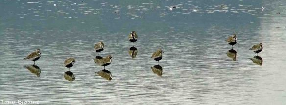19.04.15. Golden Plovers, No.6 tank, frodsham Marsh. Tony Broome
