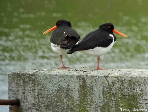 19.04.15. Oystercatcher pair, Pumping Station, Frodsham Marsh. Tony Broome