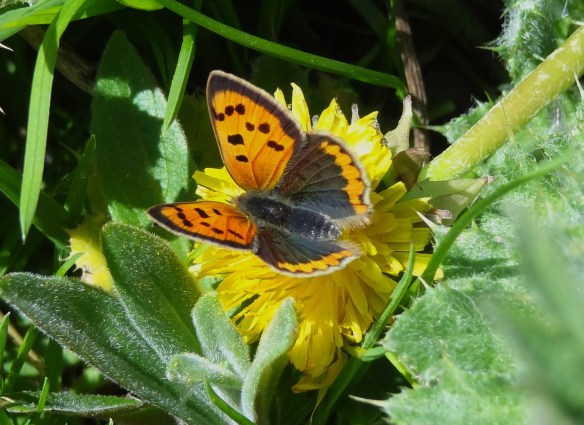 Small Copper Butterfly. Tony Broome