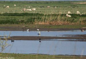 23.04.15. Avocets, No.3 tank, Frodsham Marsh. Paul Ralston