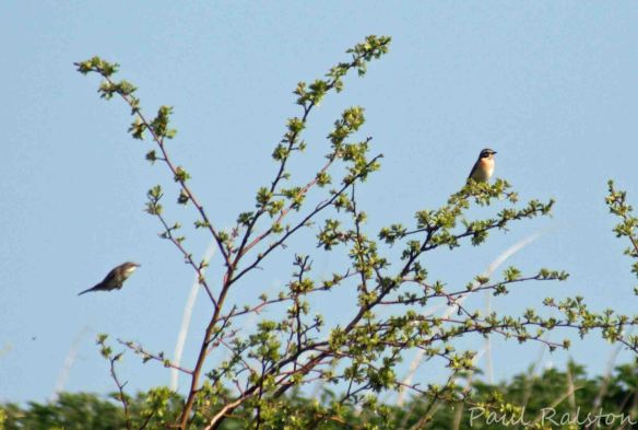 23.04.15. Whitethroat and Whinchat, No.3 tank, Frodsham Marsh. Paul Ralston