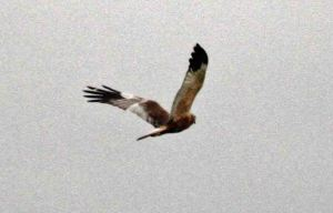 23.04.15. male Marsh Harrier, No.6 tank, Frodsham Marsh. Heather Wilde